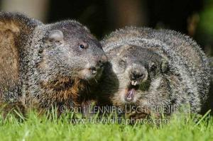 Adult woodchucks fighting, showing teeth in aggression.